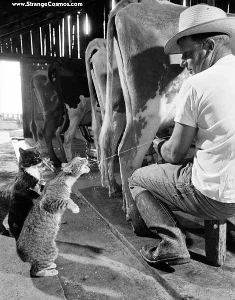 ?image=Hayvanlar/Cats line up for milk.jpg