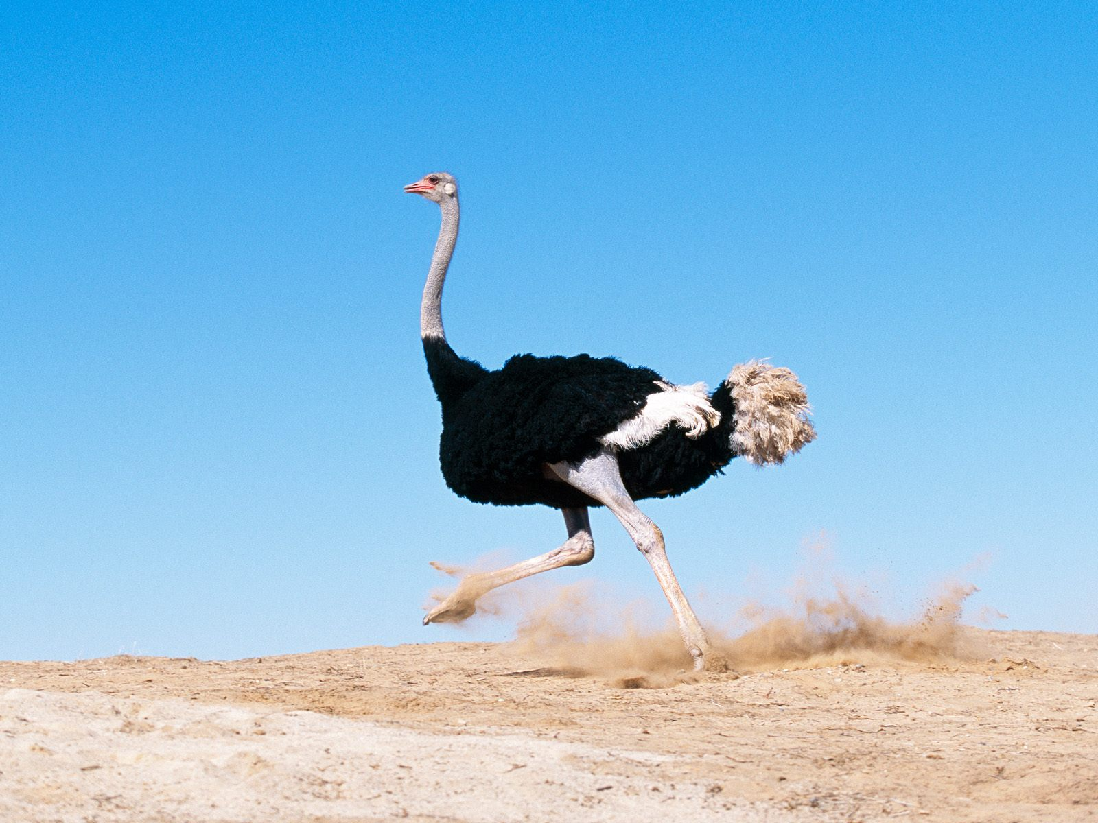 ?image=Hayvanlar/I'm_Late_Black_Feathered_Ostrich.jpg