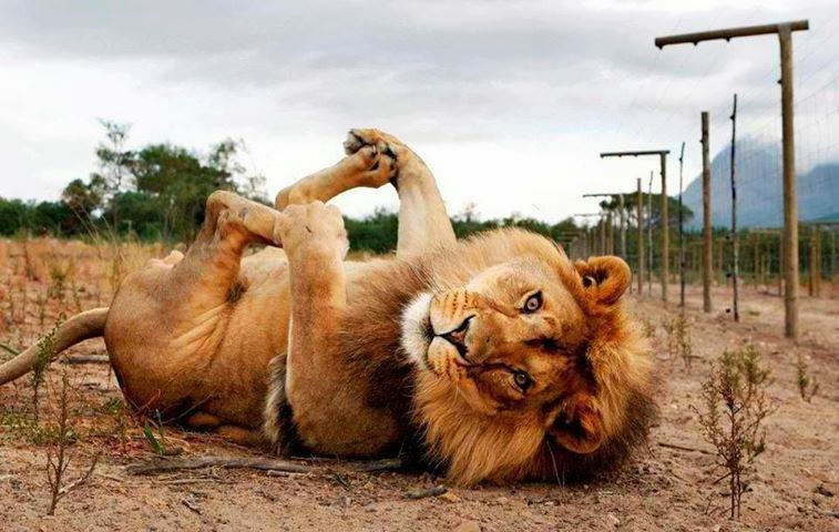 ?image=Hayvanlar/Lion.Play.Foot.jpg