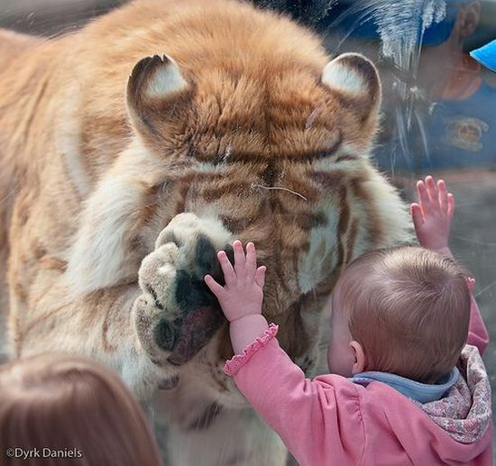 ?image=Hayvanlar/tiger.paw.child.jpg